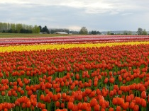 Tulip fields in full bloom, April, 2012